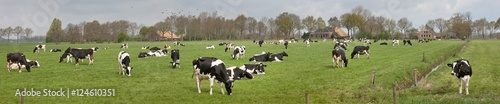 Cows grazing in Dutch meadow - 124610351