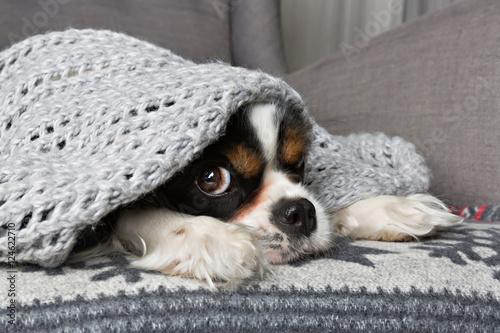 Poster dog under the blanket
