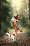 Fototapety Dog Jack Russell Terrier and dog Nova Scotia Duck Tolling Retriever jump over the leaves