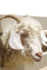 close up head and eye of angora goat in the farm