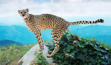 Male cheetah standing on stone at wildness