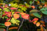 Virginia creeper, Victoria creeper (Parthenocissus quinquefolia)