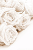 Beautiful white roses. Soft focus. Sepia - 124759304