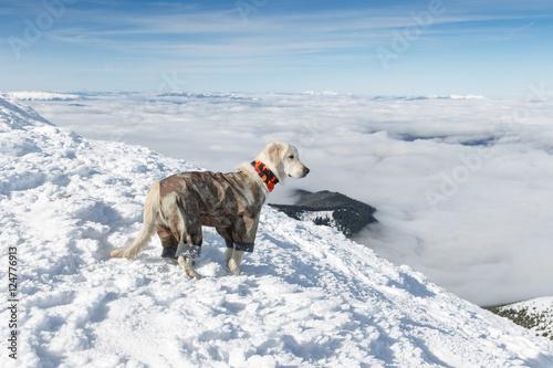 Golden retriever in winter mountains