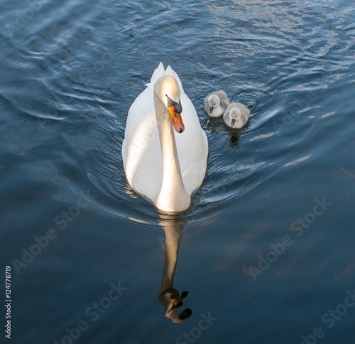 Poster White adult swan with two grey swan chicks