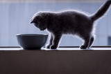 Shorthair kitten and food bowl