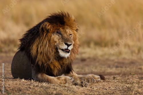 Fotobehang Big Lion Scarface, one of the four musketeers, in Masai Mara, Kenya