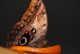 Бабочка на апельсине