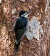 Black-backed Woodpecker - male