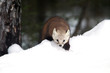Pine marten crawling in the snow