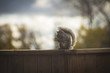 Squirrel on fence during sunset in Winnipeg