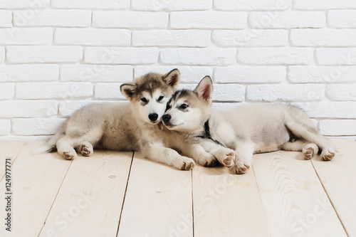 Poszter husky dogs on wood with bricks