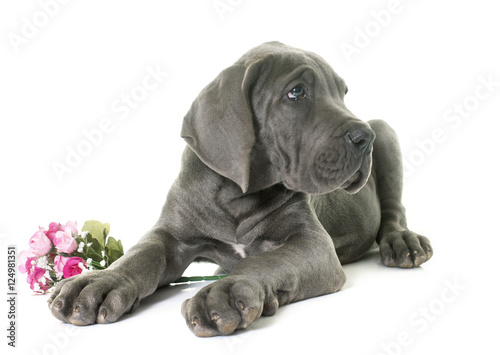 Poszter puppy great dane