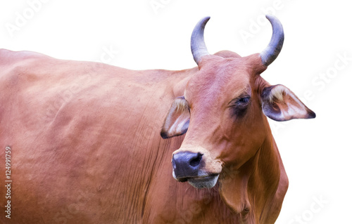 Image of red cow isolated on white background. Poster