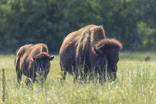 Fotobehang Bison Buffalo In South Dakota's Black Hills