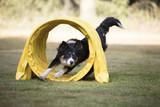 Dog, Border Collie, running through agility tunnel - 125019598