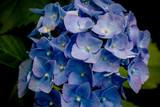 Fleur d'Hortensia bleu