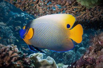 Blaukopf-Kaiserfisch