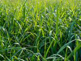 Fototapety Grass on a lawn close up in the summer in sunny day