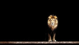 Portrait of a Beautiful lion, lion in the dark