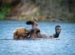 Alaskan brown bear playing