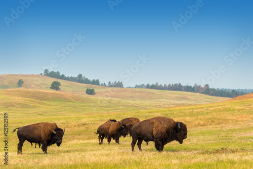 Plexiglas Bison Herd of Buffalo