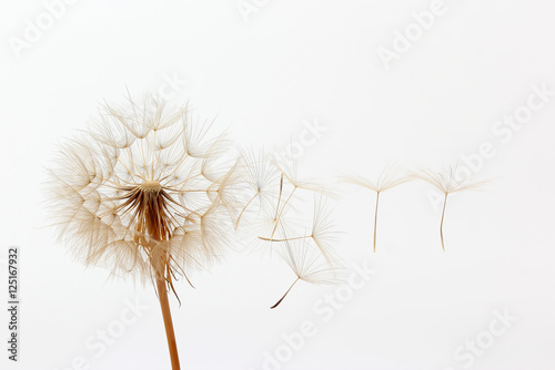 Fotobehang Paardenbloemen dandelion and its flying seeds on a white background