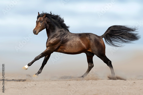Fototapeta Beautiful horse run gallop in sandy field