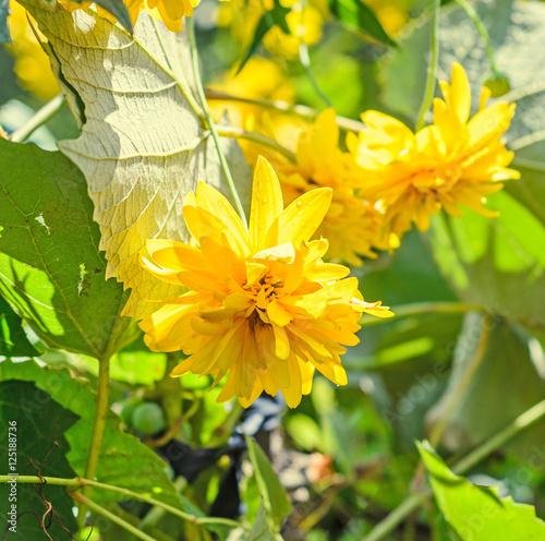 Papiers peints Azalea Yellow dahlia flower, daisy or chrysanthemum, natural colored