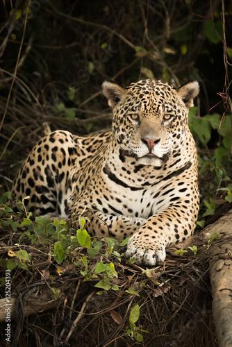 Plakat Jaguar lying by log in dense forest