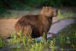 Quadro Capybara sitting in grass on river bank