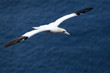 A northern gannet in flight
