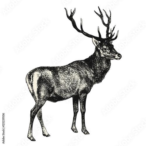 vintage animal engraving / drawing: deer - vector design element