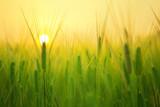 Champ de blé au soleil levant - 125263910