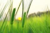 Champ de blé au soleil levant - 125263921
