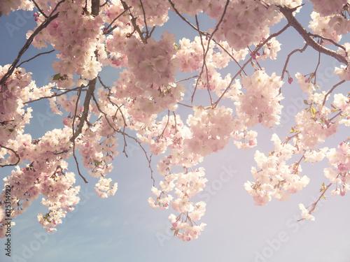 Japanese cherry