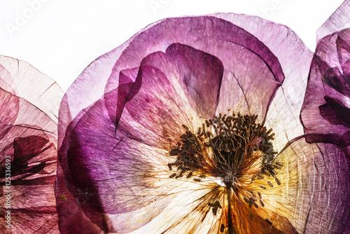 dry poppy flowers