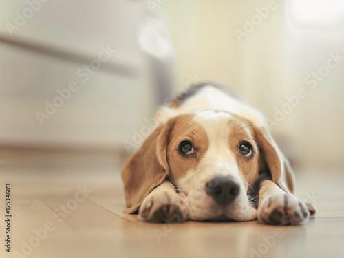 Plakát, Obraz beagle