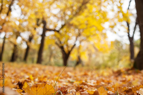 autumn trees out of focus, natural bokeh background © Beznika