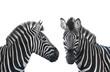 two portrait zebra
