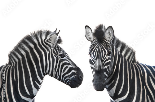 two portrait zebra