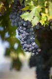 grapevine in valpolicella  - 125396938