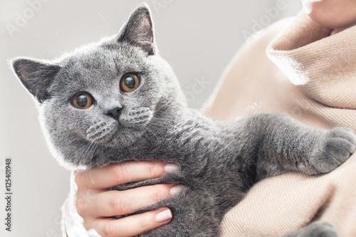 Ładny kotek trzymać w ręce. Brytyjski krótkowłosy