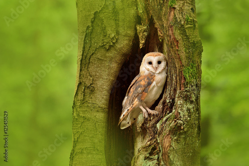 Poster Barn owl (Tyto alba) in the tree cavity