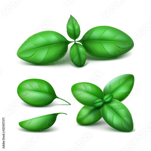 Vector Set of Green Fresh Basil Leaves Close up Isolated on Background