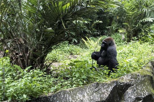 Poster lonely big gorilla