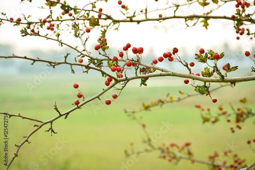Papiers peints Nature Rode bessen