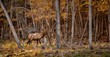 Wapiti making a mark in the woods.