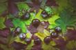 canvas print picture - Gesicht aus Laub und Kastanien / Gesicht aus Laub und Kastanien in der Draufsicht fotografiert.