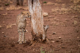 Cheetah standing next to a tree trunk.